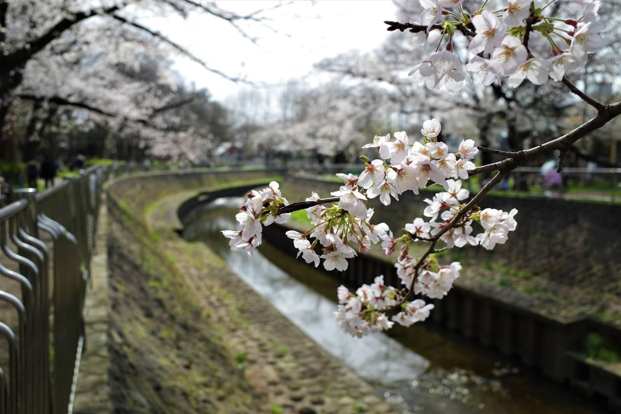 桜見頃 善福寺川でお花見散策