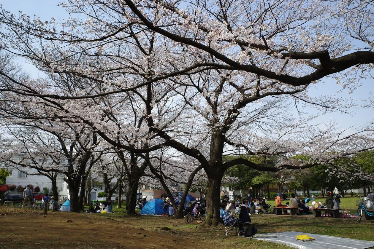 善福寺川緑地公園 お花見風景