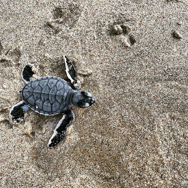 Phượt Hot - Phượt Côn Đảo xem rùa đẻ trứng (15)