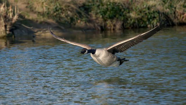 a Canada Goose in flight