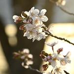 桜 夕日とともに