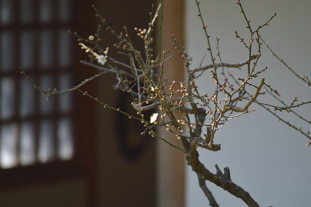 ウメ・セツゲッカ(雪月花)