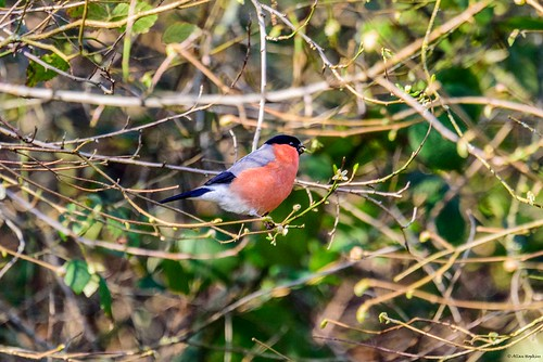 Eurasian Bullfinch (Pyrrhula pyrrhula pileata), male | by Allan Hopkins