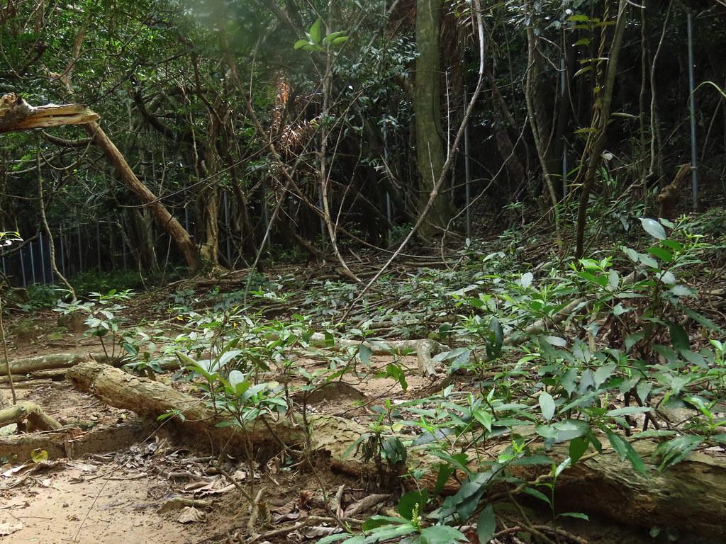 台灣土沉香因不是梅花鹿啃食對象,已取而代之,成為高位珊瑚礁森林地被層的優勢植物。攝影:廖靜蕙