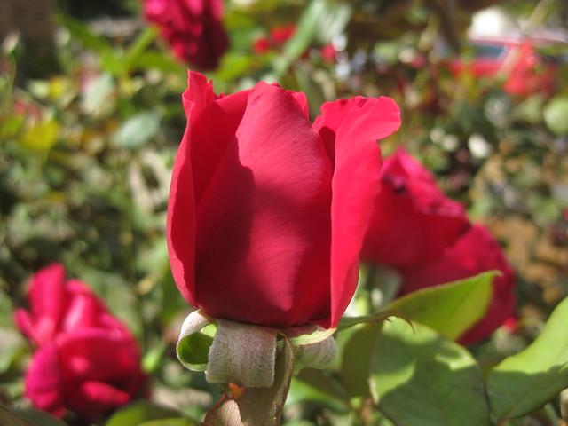 A Crimson Glory Rose Bud - Coburg