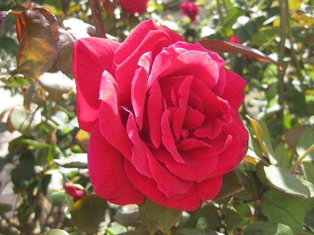 A Crimson Glory Rose - Coburg