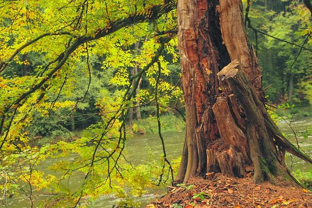 Old tree on riverside in autumn