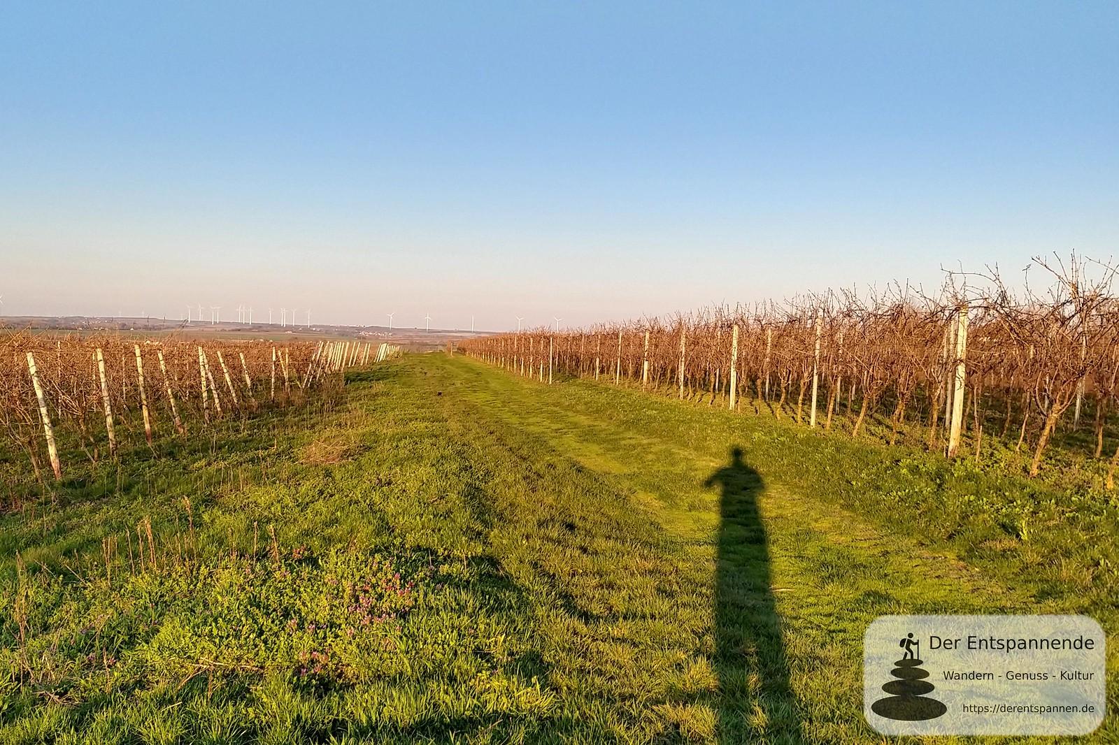 Morgensonne in den Weinbergen bei Selzen