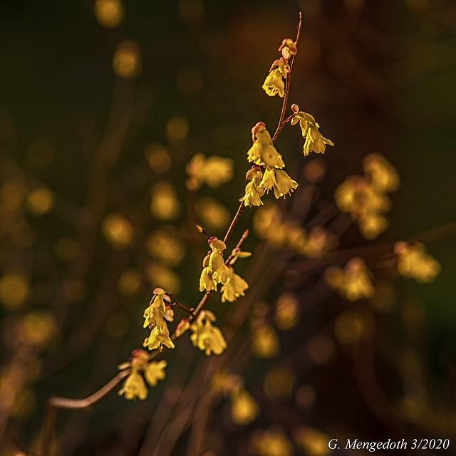 Armblütige Scheinhasel  (Corylopsis pauciflora)
