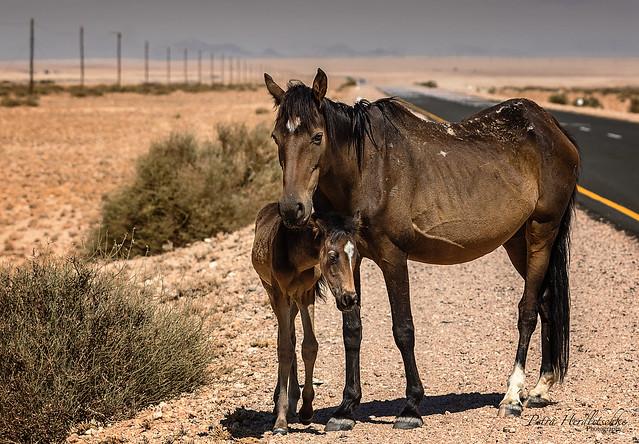 Wildpferde von Garub am Rande der Namib