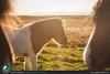I bellissimi cavalli Islandesi