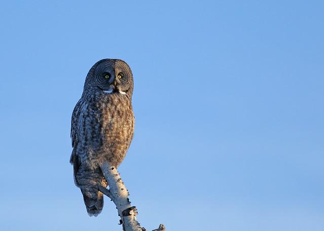 Great Gray Owl...#54
