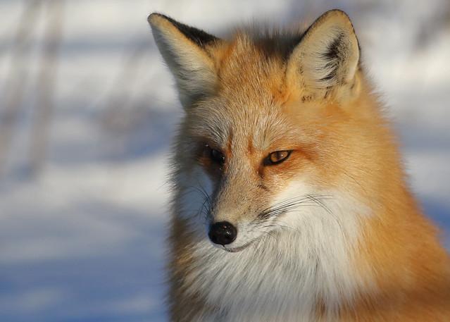 Red Fox...#15