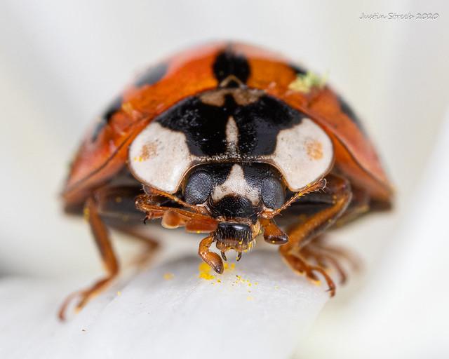 Ladybug Staredown