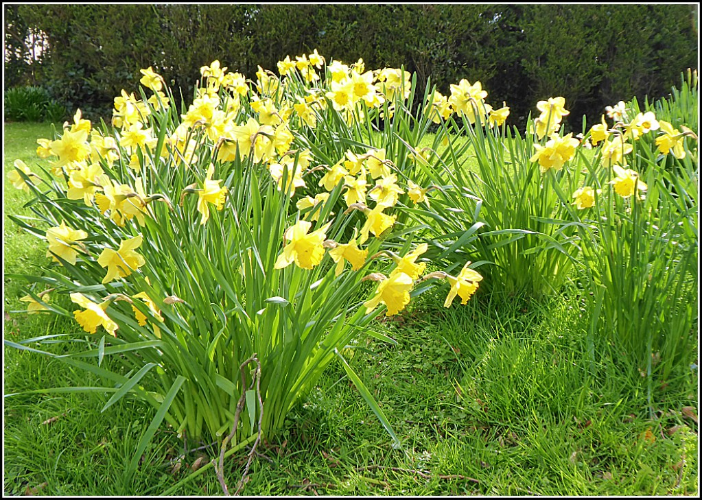 Last of this Years Daffodils ...