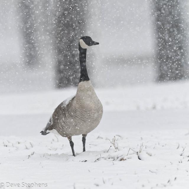 Snow Goose? No, Spring Goose!