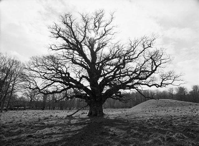Eventyrligt egetræ