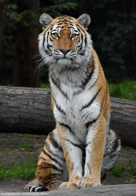 Siberian tiger - Tierpark Hagenbeck