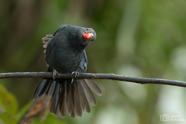 Pepitero Negro | Bico de Pimenta ( Explore )