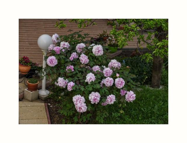 Vue de mon petit balcon, bien penchée,  le jardin d'à côté avec cette magnifique pivoine !!