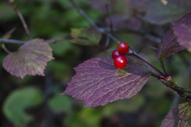 Squashberry Viburnum edule