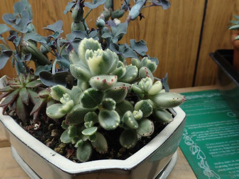 Les succulentes chez Cloo en 2020 - Page 5 49687300618_04bf933833_c