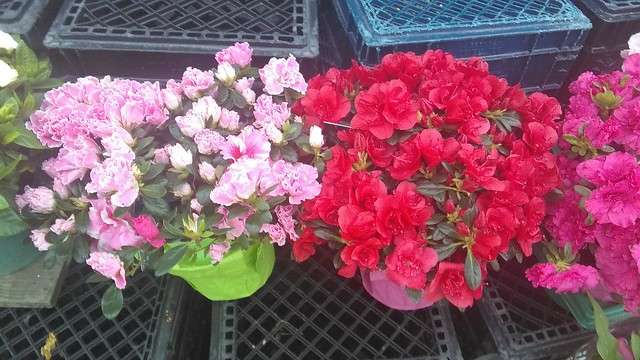 Flowers of 77 Food Market (3, 2nd take) #toronto #dovercourtvillage #flowers #77foodmarket #cornerstore #crates #red #pink #latergram