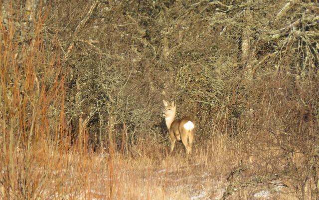 Metskits / Roe deer / Capreolus capreolus