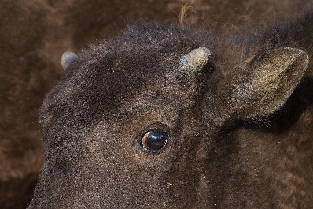 A close-up view of the face and tiny horn of an American bison calf as it looks at me near Mormon Row in Grand Teton National Park in Wyoming in September 2011