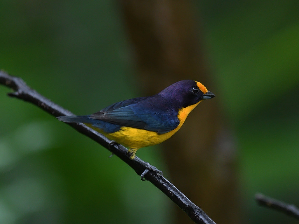 Violaceous Euphonia (male)