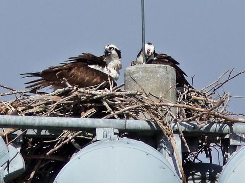 Ospreys at nest 02-20200321