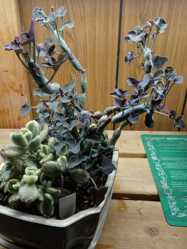 Les succulentes chez Cloo en 2020 - Page 5 49687833516_2101acb435_c