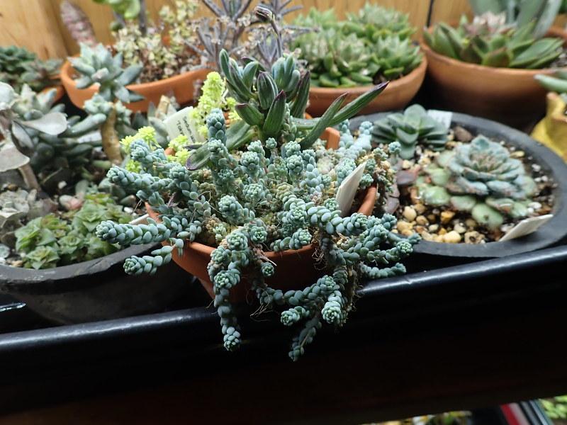 Les succulentes chez Cloo en 2020 - Page 5 49687833576_a0831b49af_c