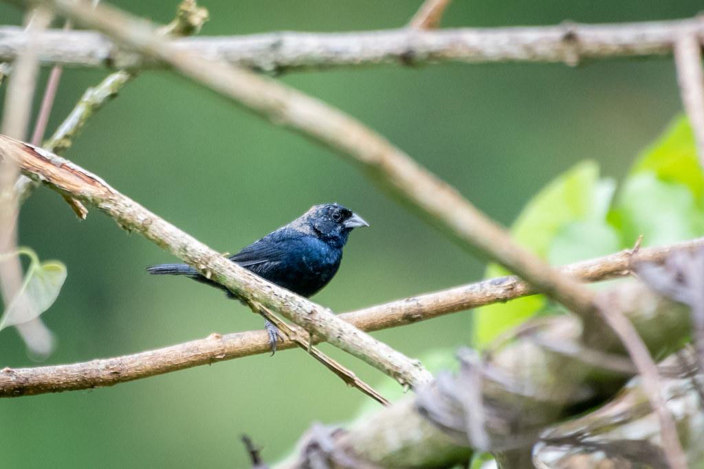 Blue-black Grassquit
