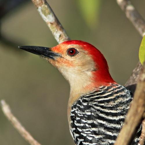 Red-bellied Woodpecker male portrait 03-20200321