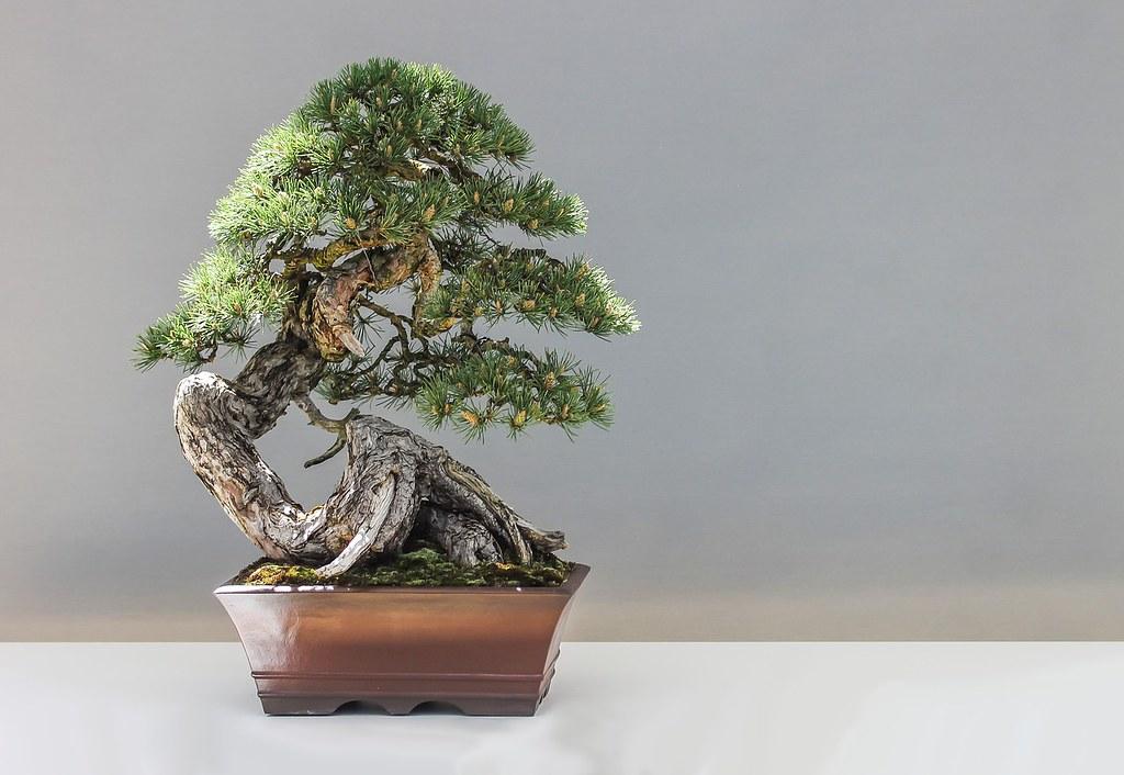 Bonsai-Fig1