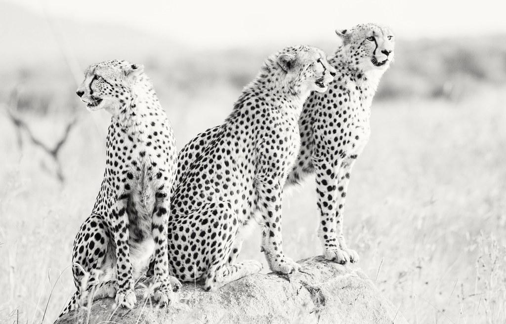 Cheetahs in Pilanesberg,  South Africa