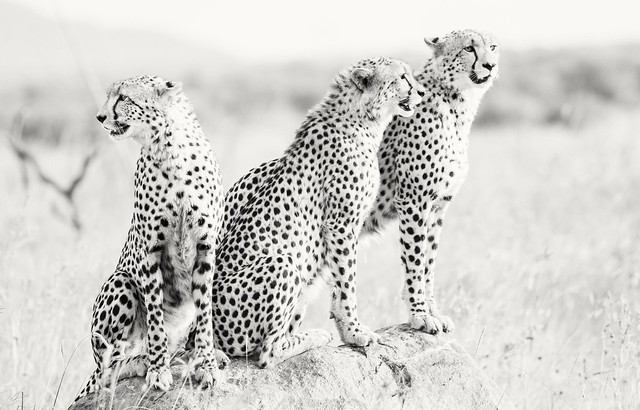 Cheetahs in Pilanesberg,  South Africa