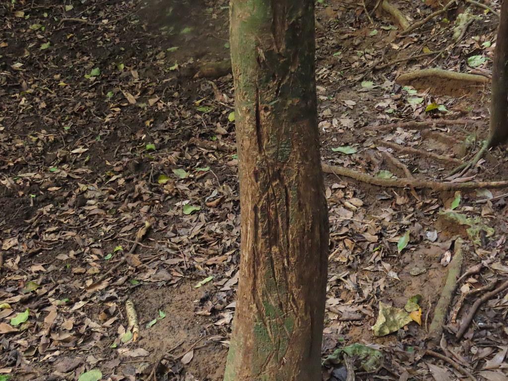 徑級10公分的小徑木,是台灣梅花鹿喜歡磨角的對象。攝影:廖靜蕙