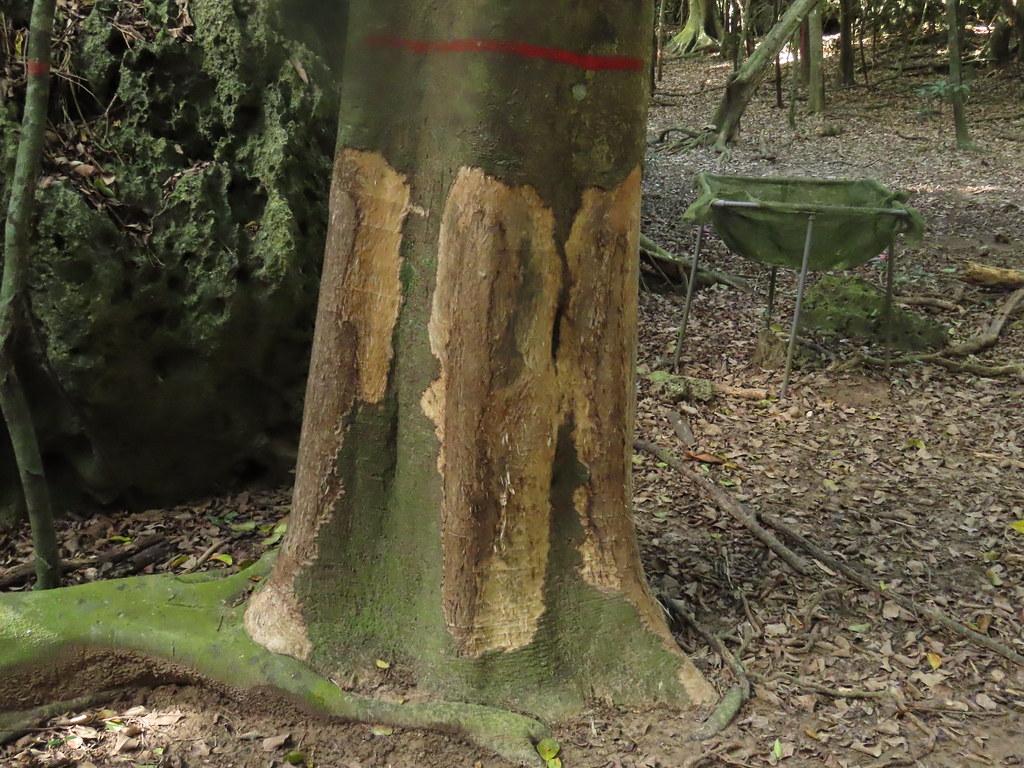 森林內環剝的樣態,不但樹幹,連地上的根系也難逃遭梅花鹿啃食的命運。攝影:廖靜蕙