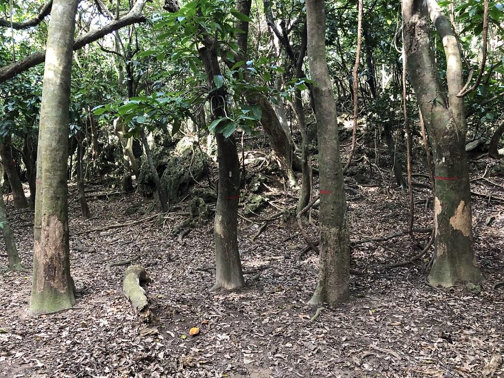 高位珊瑚礁森林裡,谷地優勢樹種皮孫木,幾乎難逃環剝命運,而這件事一年多前研究人員就預料到了。攝影:廖靜蕙