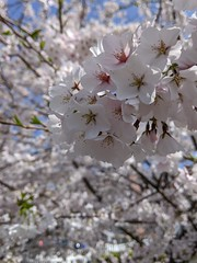 Local cherry blossoms
