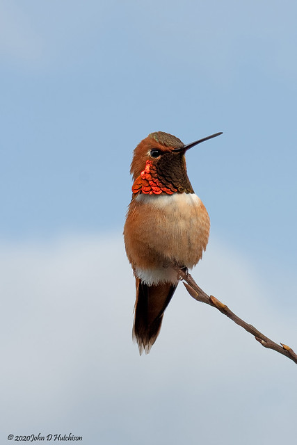 Rufous2 2020 March