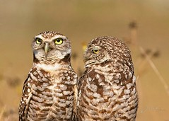 Burrowing Owls. They didn't get the message on Social distancing.  Mother and baby.