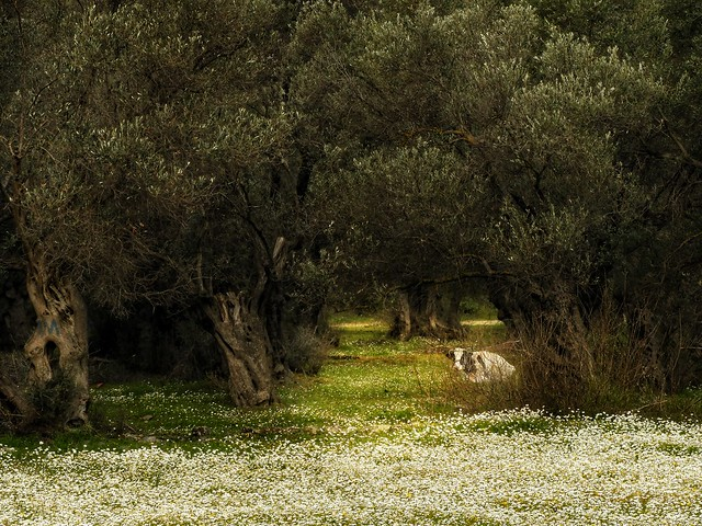 a cow under the olive trees