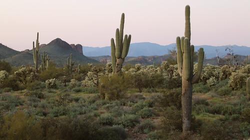 desert phoenixarizona lostdutchmanstatepark green dusk sundown landscape saguarocactus chollacactus desertisgreen
