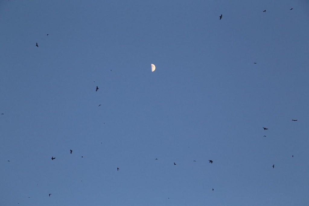 伴著月色的東亞摺翅蝠。圖片提供:新北市動保處。