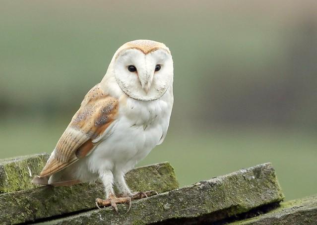 Male barn owl 😍