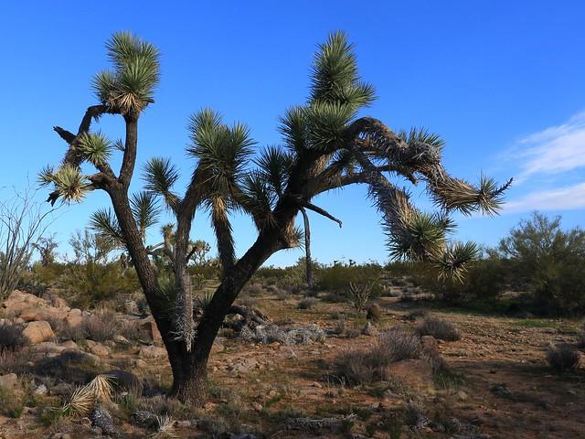 Joshua Tree SR602329