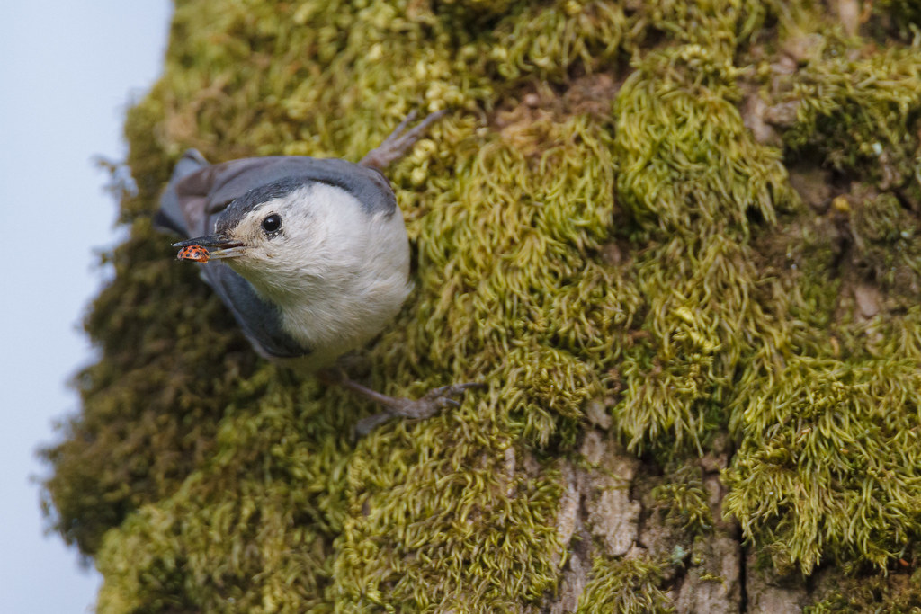 A white-breasted nuthatch holds a multicolored Asian ladybeetle in its beak as it clings to a mossy tree in Bower Slough at Ridgefield National Wildlife Refuge in Ridgefield, Washington in June 2011